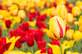 Red and Yellow Field of Tulips in Holland Michigan Royalty Free Stock Photo