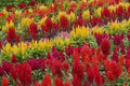 Red and yellow flower display,a study in full bloom. Royalty Free Stock Photo