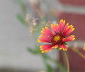 Red and yellow flower macro of a with a brick building blurred in the background Stock Photo
