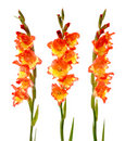 Red and yellow gladiolus Royalty Free Stock Photo
