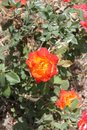 Red and Yellow Rose Royalty Free Stock Photo