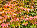 Red yellow green leaves of ivy in sunny autumn day Royalty Free Stock Image