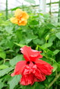 Red and yellow hibiscus in the greenhouse Royalty Free Stock Photos