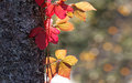 Red and yellow leaf suitable as autumn widescreen display backgr Royalty Free Stock Photo