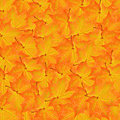Red and yellow maple leaves background Stock Images