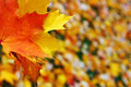Red and yellow maple leaves on fall background Stock Photos