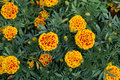 Red and yellow Marigold flower Royalty Free Stock Photo