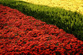 Red and Yellow Mums in Garden Royalty Free Stock Photo