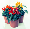 Red yellow orange hot chili peppers in pot instagram filter Stock Photos