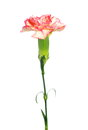Red yellow pink carnations isolated on white background Royalty Free Stock Photo
