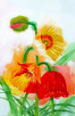 Red yellow poppy watercolor illustration Stock Image