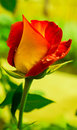Red and yellow rose. Royalty Free Stock Photo
