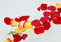 Red and yellow rose petals floating in water Royalty Free Stock Photo