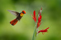Red and yellow Ruby-Topaz Hummingbird, Chrysolampis mosquitus, flying next to beautiful red flower in Tobago Island Royalty Free Stock Photo