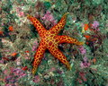 Red and yellow Seastar Royalty Free Stock Photo