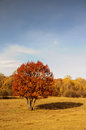 Red yellow tree on grassland Stock Photography