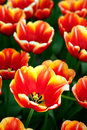 Red and yellow tulip Royalty Free Stock Images