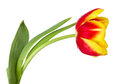 Red-yellow tulip Stock Images