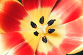 Red yellow tulip closeup Stock Image