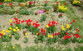 Red and yellow tulip flower garden Royalty Free Stock Photo