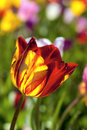 Red and yellow tulip flower macro at fields closeup Stock Image