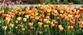 Red  and yellow  tulip flowers. Royalty Free Stock Images