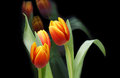 Red-yellow tulip flowers on black background