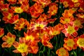 Red and Yellow tulip flowers in a garden in Lisse, Netherlands, Royalty Free Stock Photo
