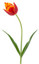 Red with yellow tulip isolated on the white background Royalty Free Stock Photo