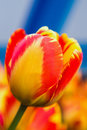 Red and yellow tulip macro shot of on blue background Stock Images