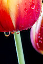 Red and yellow tulip the is a perennial bulbous plant with showy flowers in the genus tulipa Royalty Free Stock Images