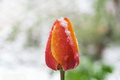 Red yellow tulip snow covered closeup Royalty Free Stock Photo