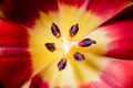 Red yellow tulip vivid violet stamen closeup Stock Images