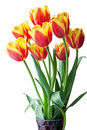 Red and yellow tulips. Stock Photos