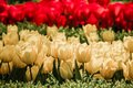 Red and yellow tulips in bloom spring field full of Royalty Free Stock Photo