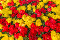Red and yellow tulips a display of from skagit valley washington usa Royalty Free Stock Images