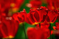Red and yellow tulips flower bed of bright vivid in spring Stock Image