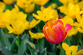 Red and yellow tulips; one red tulip stands alone in a field of yellow blooms. Royalty Free Stock Photo