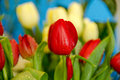 Red and yellow tulips after a rain Royalty Free Stock Photo