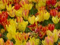 Red and yellow tulips at Shanghai flower port Royalty Free Stock Photo