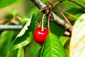 Red yummy cherries on the tree. Close up. Royalty Free Stock Photo