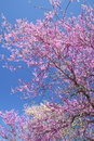 Redbloom Trees and Dogwoods blooms against a clear blue sky. Royalty Free Stock Photo