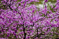 Redbud blooms Royalty Free Stock Photo