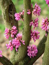 Redbud blossoming blossom with red flowers on gray background Royalty Free Stock Photo