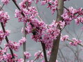 Redbud Blossoms & Bee