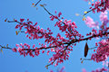 Redbud Blue Sky Stock Photos