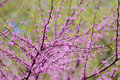 Redbud Flowers and Green Leaves Royalty Free Stock Photo