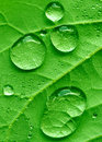 Redbud leaf and raindrops Royalty Free Stock Image