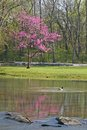 Redbud mallard a blooming tree reflected in a stream a swimming in the foreground Royalty Free Stock Image