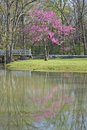 Redbud reflected a blooming tree in a stream a white footbridge in the background Stock Image
